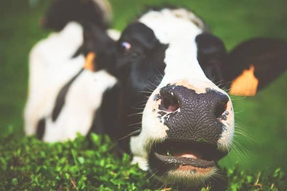 Proteína animal de ternera Beef Protein